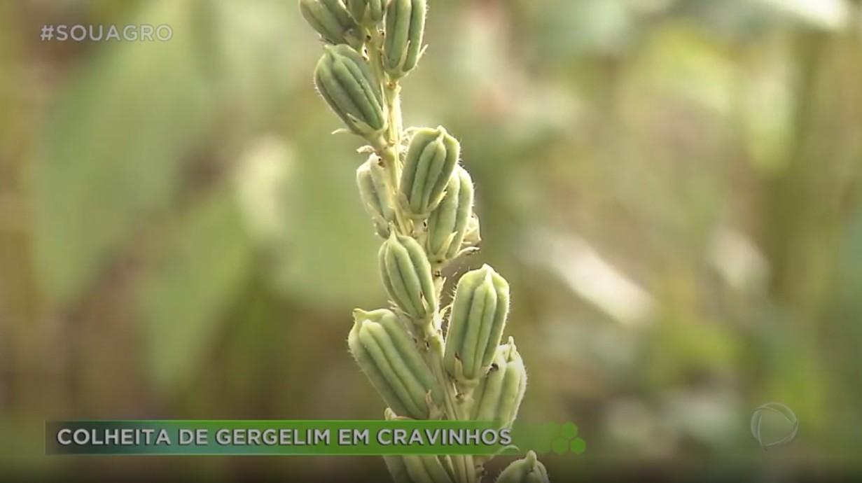 Cultivo e colheita de gergelim