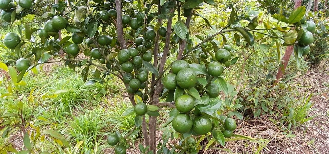 Como manejar um pomar agroflorestal